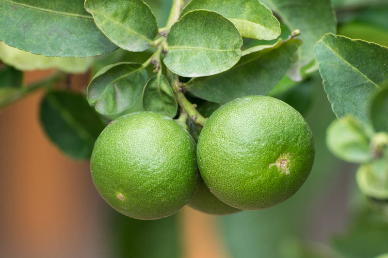 Dwarf Bearss Lime Tree