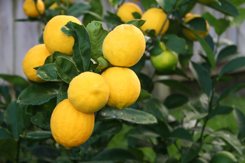 Dwarf Improved Meyer Lemon Tree