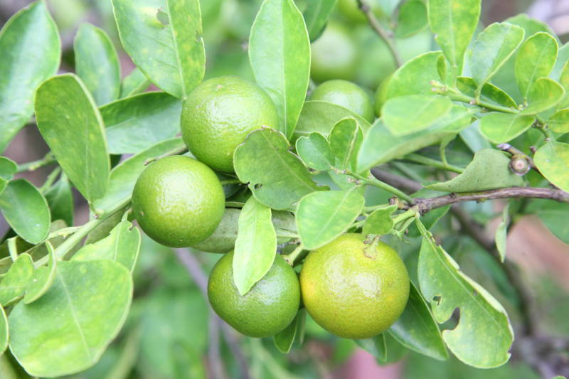 Dwarf Mexican Lime Tree