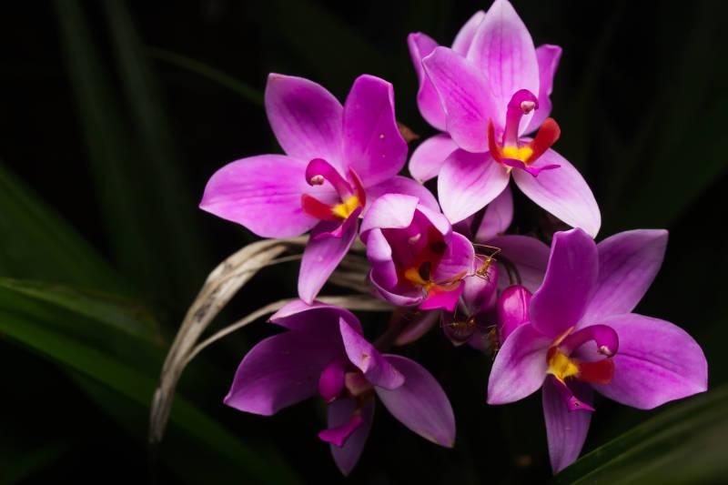 Spathoglottis Garden Orchid