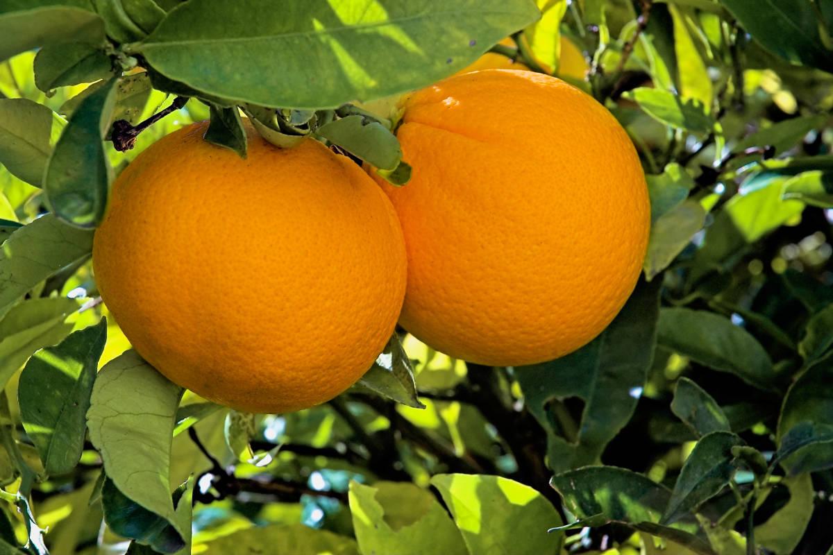 Dwarf Washington Navel Orange Tree